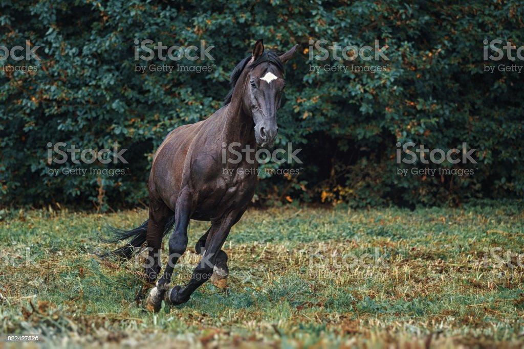 Trakehner stallion gallop stock photo