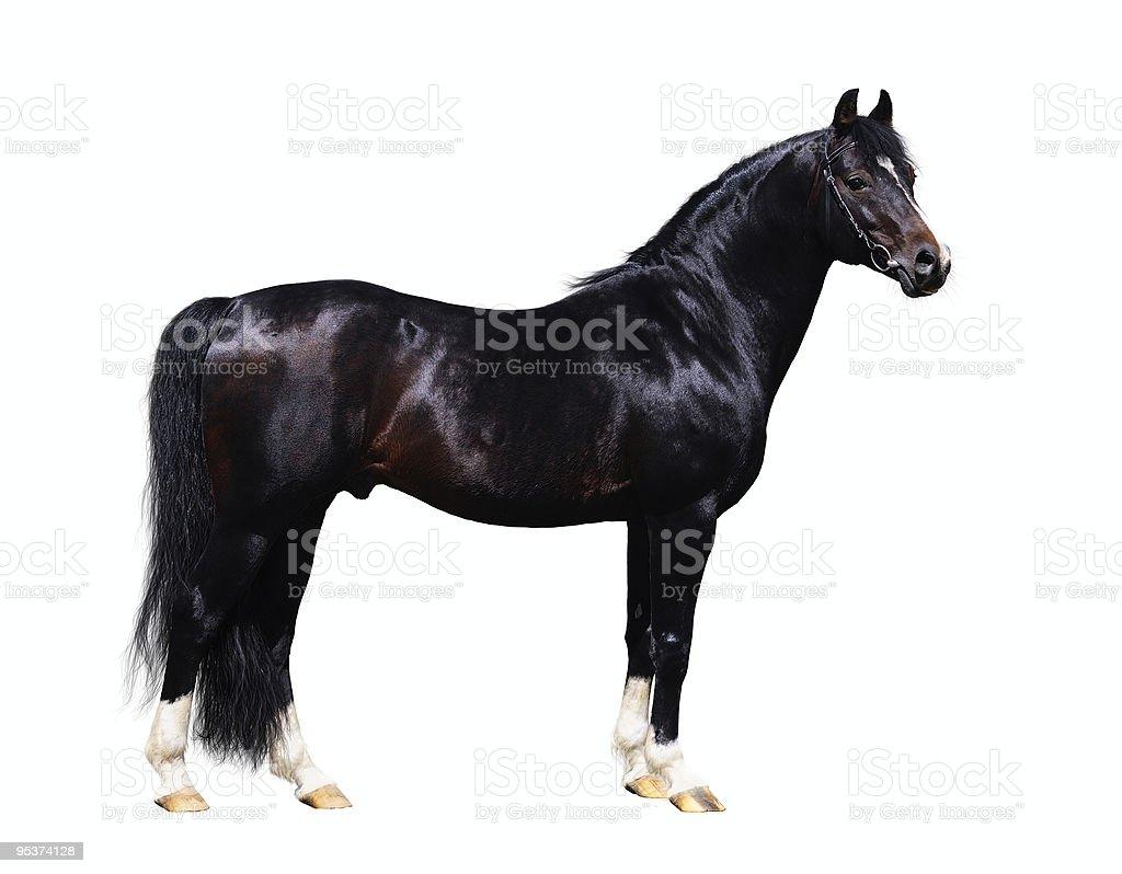 trakehner stallion stock photo
