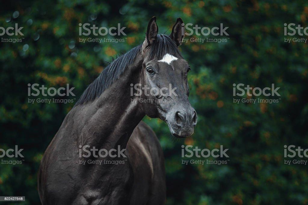 Trakehner stallion portrait stock photo