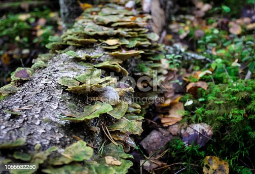 trametes versicolor, also known as coriolus versicolor and polyporus versicolor mushroom, the best natural cure for cancer