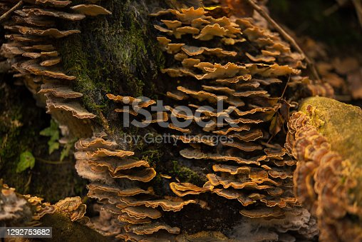 Trametes versicolor, Commonly Called Turkey Tail Growing on a Tree Trunk