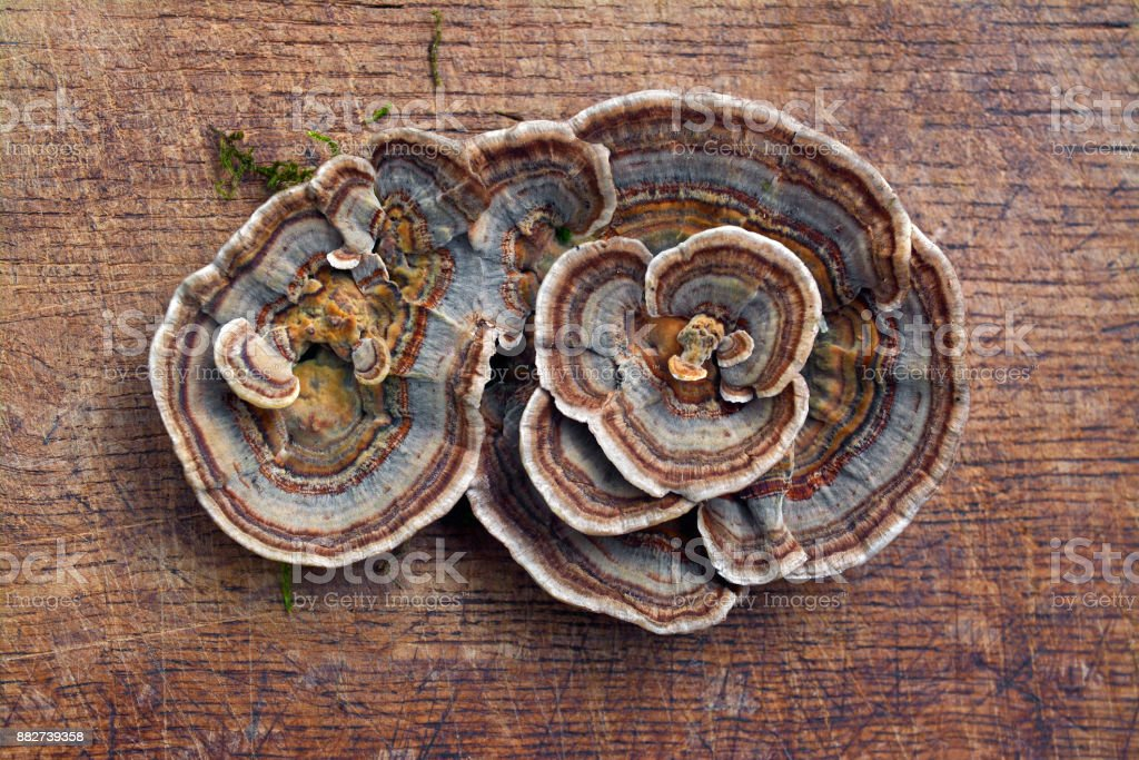 trametes versicolor mushroom stock photo