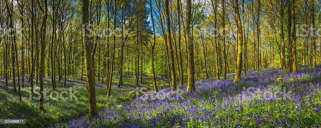 Tranquil forest glade idyllic bluebell woods leafy green foliage panorama stock photo