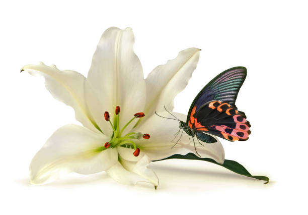 Tranquil moment with white lily and beautiful butterfly picture id865253306?b=1&k=6&m=865253306&s=612x612&w=0&h=5pbbrdnqf0svjnmhiooqyag2bpspszwealpockwcbam=