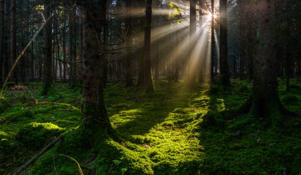 Tranquil mossy forest glade golden sunbeams in woodland panorama stock photo