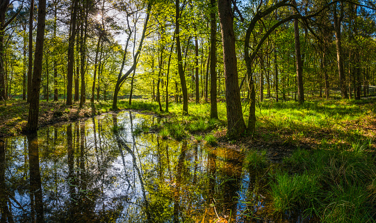 Tranquil pond deep in green forest idyllic summer woods panorama