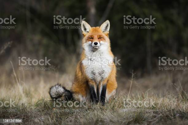Photo of Tranquil red fox sitting on meadow in autumn nature.