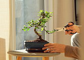 Keeping a decorative bonsai plant in shape. Living room decoration with homeplants.