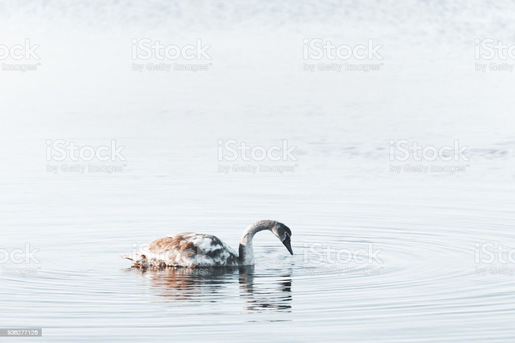 Tranquil scene with a young swan stock photo