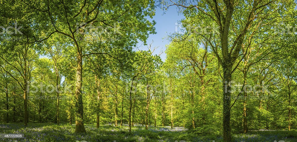 Tranquil summer woodland vibrant green forest foliage background panorama stock photo