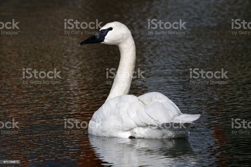 Tranquil Swan stock photo