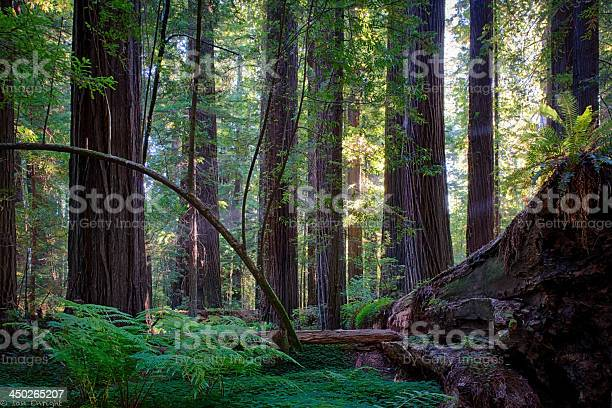 Tranquility in the Californian Redwoods