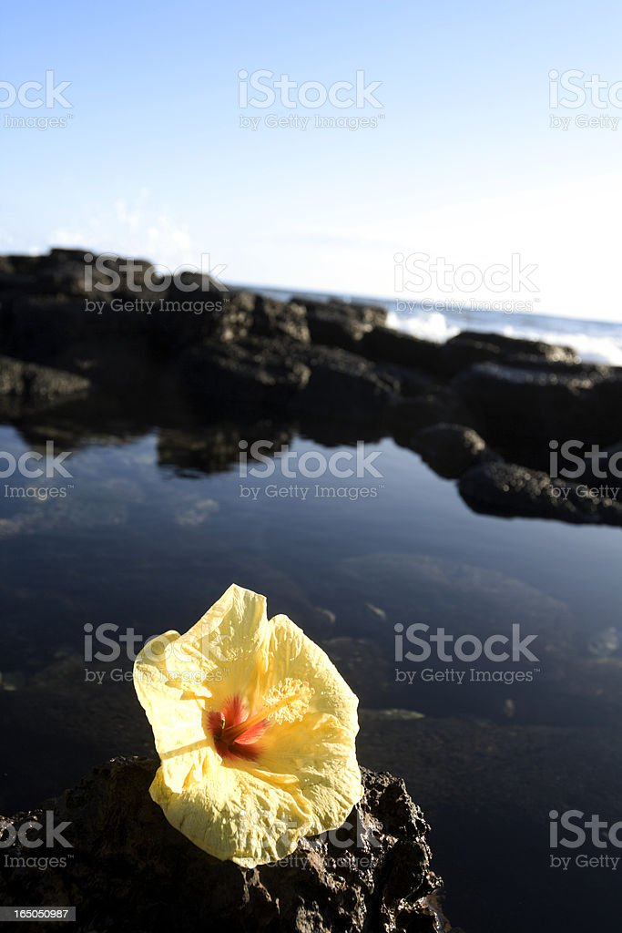 Tranquility ocean tide pool with a Hibiscus flower royalty-free stock photo