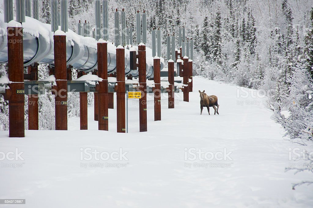 Trans Alaska Pipeline in Winter with Moose stock photo