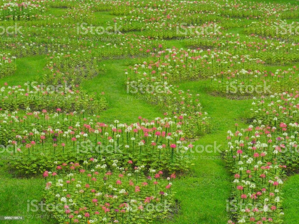 Transformeren van de bloemen in vers groen gazon, het ziet er verfrissend, mooi in de zomer, gelukkig en vrij uit de natuur. - Royalty-free Aanraken Stockfoto