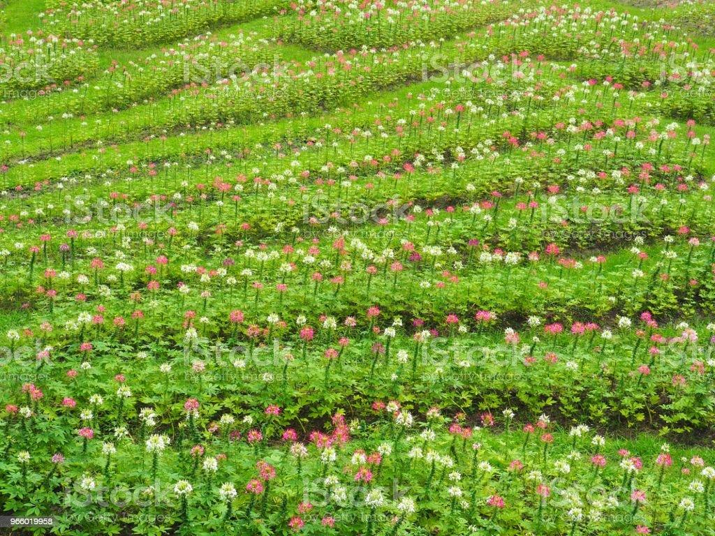 Die Blumen in frischen grünen Rasen zu verwandeln, sieht es erfrischend, schön im Sommer, glücklich und frei von der Natur. - Lizenzfrei Auge Stock-Foto