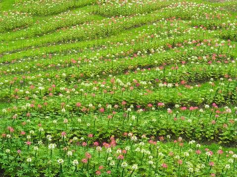 Die Blumen In Frischen Grünen Rasen Zu Verwandeln Sieht Es Erfrischend Schön Im Sommer Glücklich Und Frei Von Der Natur Stockfoto und mehr Bilder von Auge