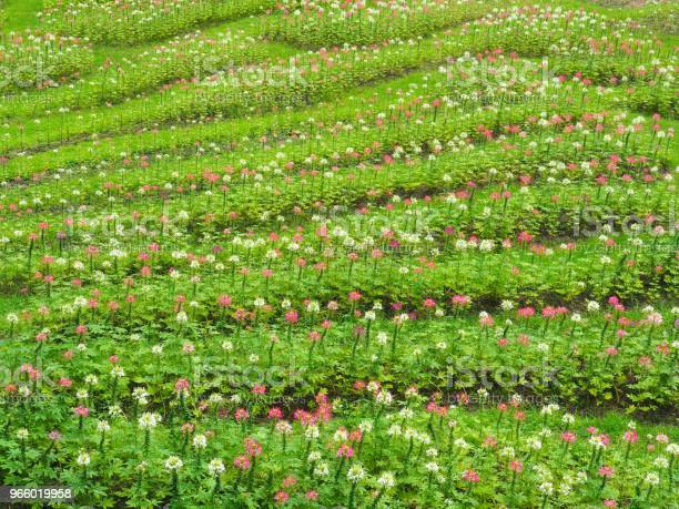 Omvandla Blommorna I Färsk Grön Gräsmatta Det Ser Uppfriskande Vacker På Sommaren Glad Och Fri Från Naturen-foton och fler bilder på Blomma