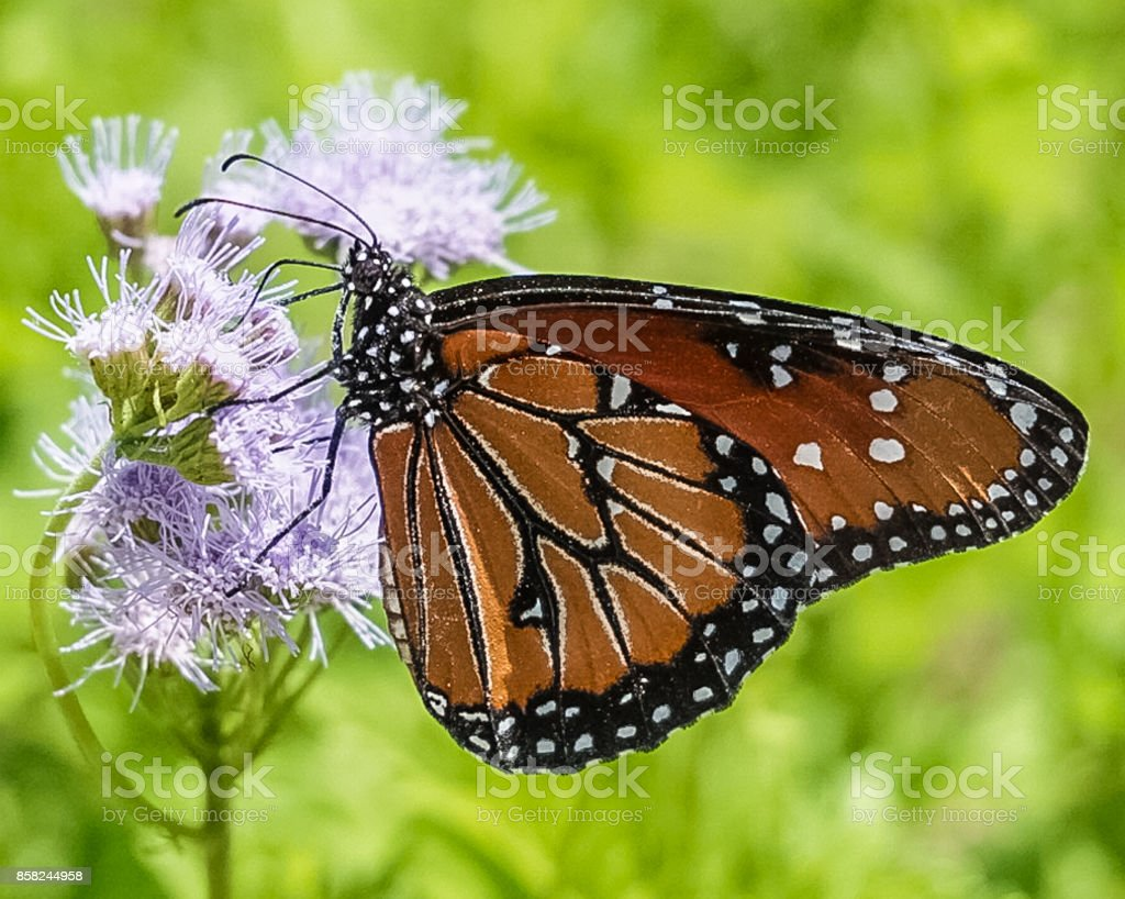 Transformation:  a Monarch Butterfly on a purple wildflower in a meadow stock photo
