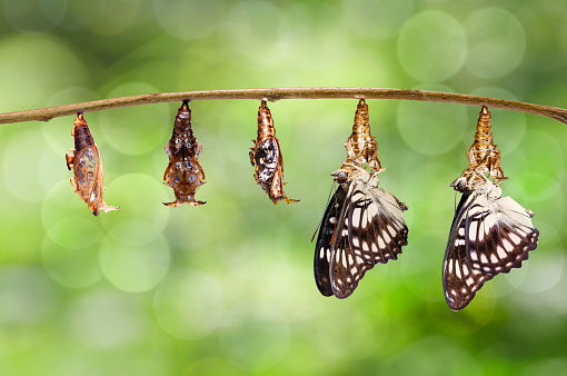 istock Transformation from chrysalis of Black-veined sergeant butterfly ( Athyma ranga ) hanging on twig 943740452