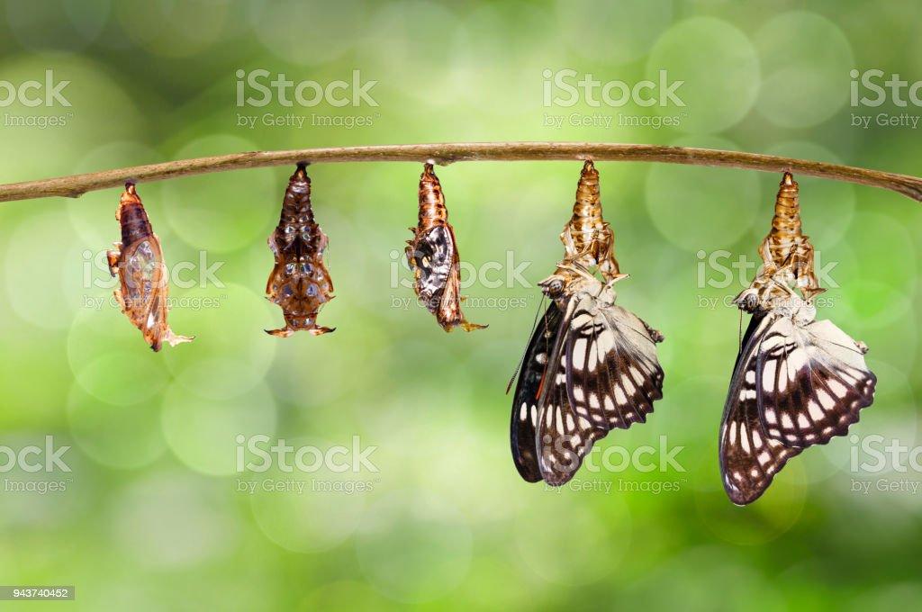 Transformação da crisálida do Sargento-de-veado-negro borboleta (Athyma ranga) pendurado no galho - foto de acervo