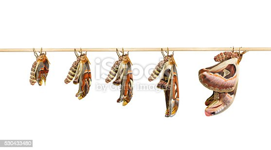 istock Transformation of attacus atlas moth on white 530433480