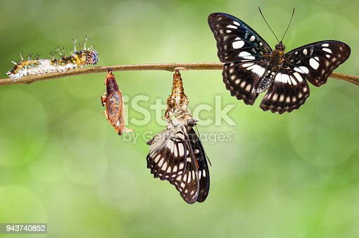 538988558 istock photo Transformation of Black-veined sergeant butterfly ( Athyma ranga ) from caterpillar , pupa and emerged hanging twig 943740852