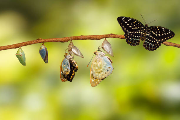 Transformation of Common Archduke butterfly emerging from chrysalis Transformation of Common Archduke butterfly emerging from chrysalis ( Lexias pardalis jadeitina ) hanging on twig dorsal surface stock pictures, royalty-free photos & images