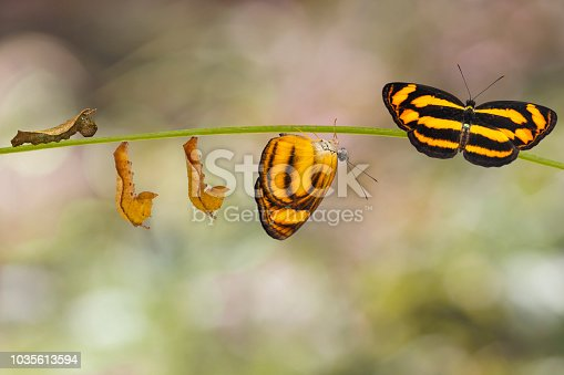 Transformation of common lascar butterfly ( Pantoporia hordonia ) from caterpillar and chrysalis on twig