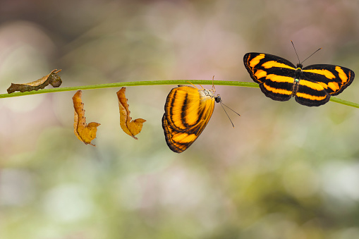 istock Transformation of common lascar butterfly ( Pantoporia hordonia ) from caterpillar and chrysalis on twig 1035613594