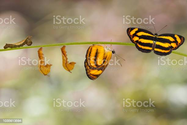 Transformation of common lascar butterfly from caterpillar and on picture id1035613594?b=1&k=6&m=1035613594&s=612x612&h=ijgvipxt0um5cmaapyakj 3nywmjltr t5rtp9igtqk=