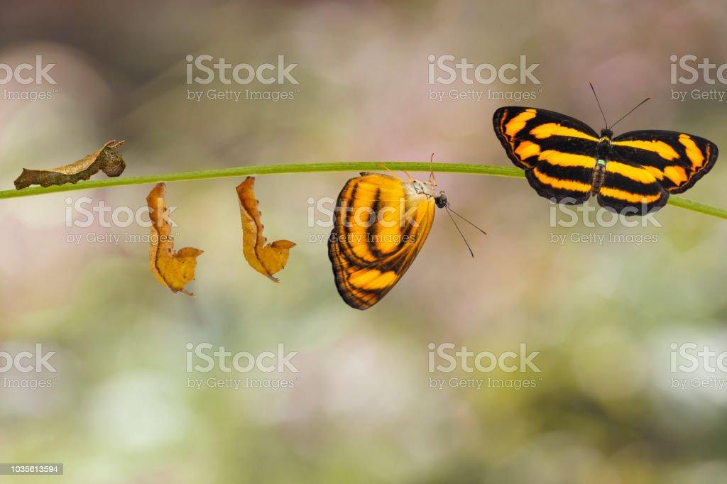 Transformação da borboleta de lascar comum (Pantoporia hordonia) da lagarta e crisálida no galho - foto de acervo