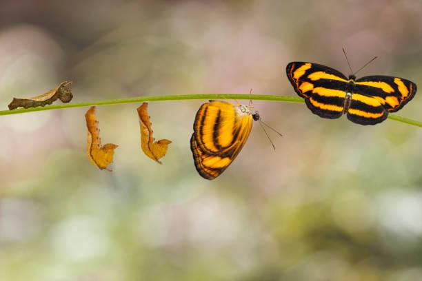 transformation of common lascar butterfly ( pantoporia hordonia ) from caterpillar and chrysalis on twig - farfalla ramo foto e immagini stock