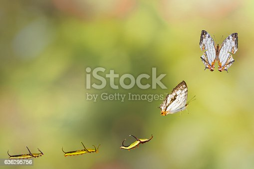 538988558istockphoto Transformation of common map (Cyrestis thyodamas ) butterfly 636295756