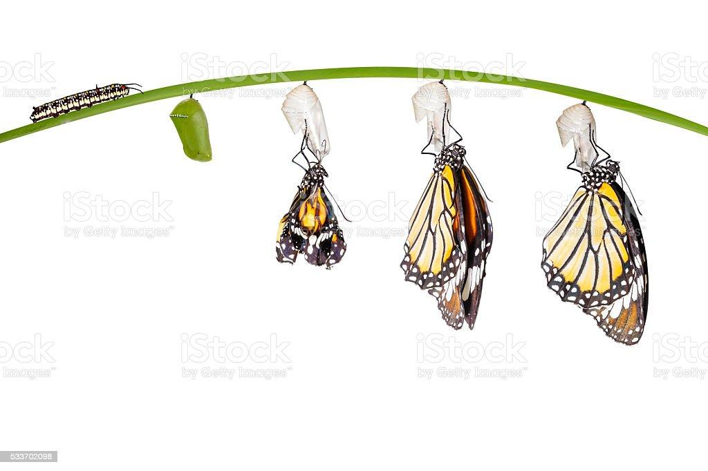 Transformação de tigre comum borboleta saindo do casulo em - foto de acervo