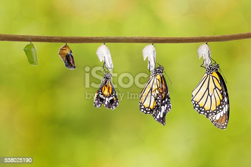 538988558 istock photo Transformation of common tiger butterfly emerging from cocoon 538025190