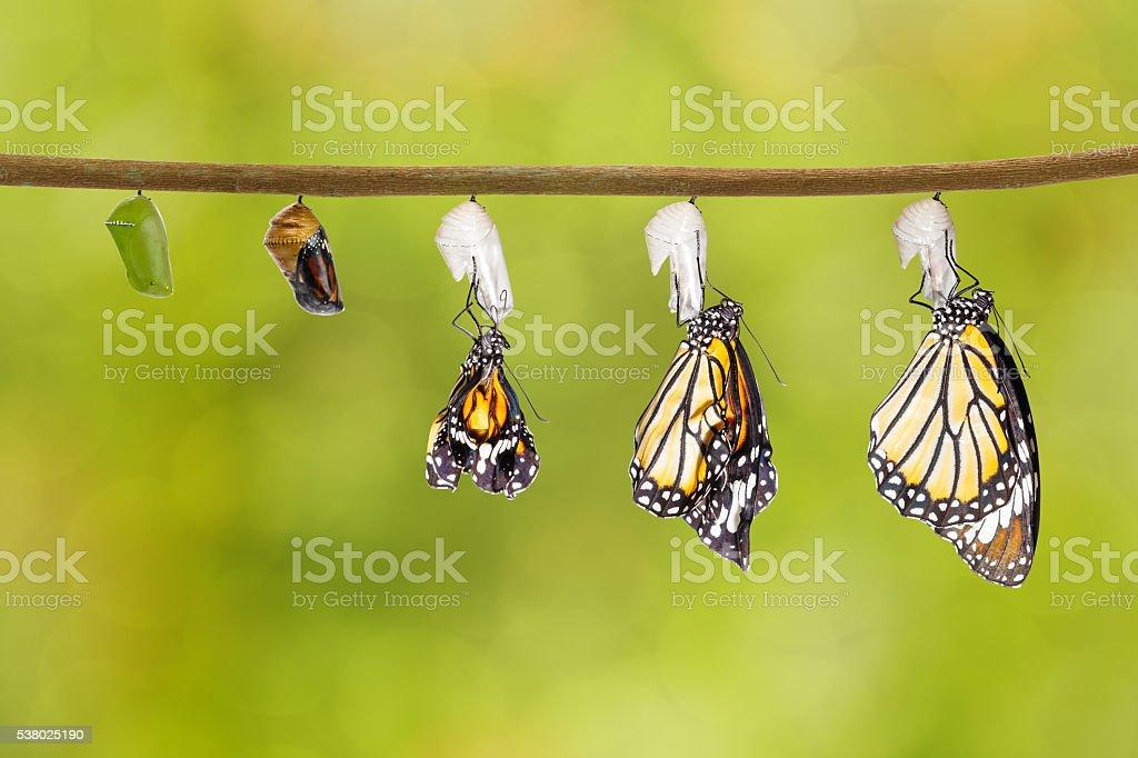 Transformação de tigre comum borboleta saindo do casulo - foto de acervo