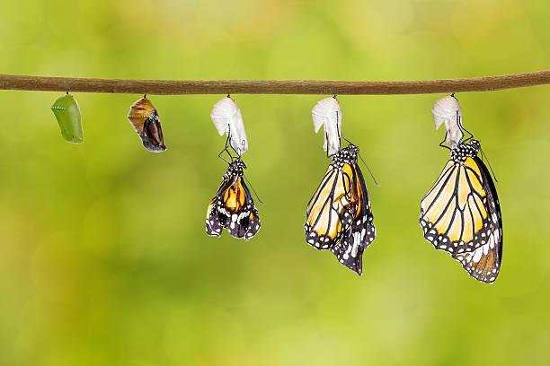 transformação de tigre comum borboleta saindo do casulo - lagarta - fotografias e filmes do acervo