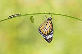 Monarch butterfly feeding on yellow  flowers in a garden