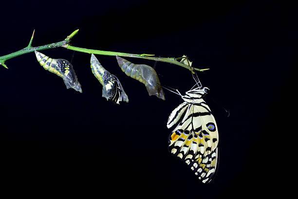 transformation of lime butterfly (papilio demoleus) on black bac - kokon stock-fotos und bilder