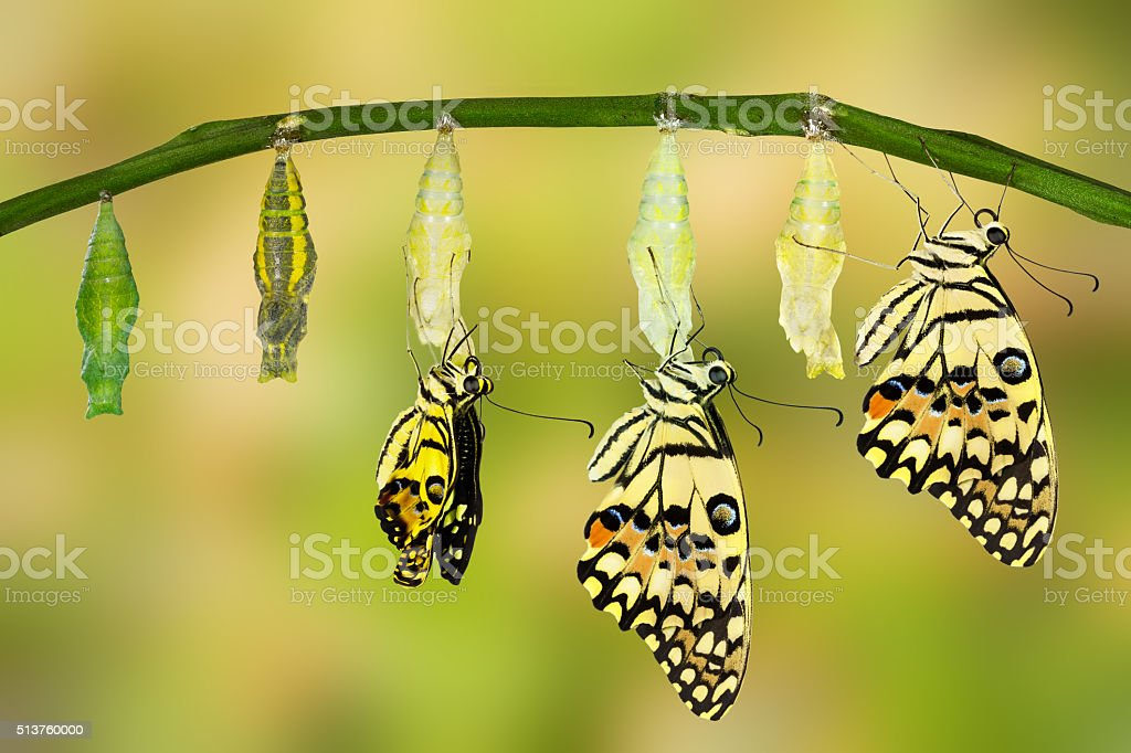 Transformation of Lime Butterfly stock photo