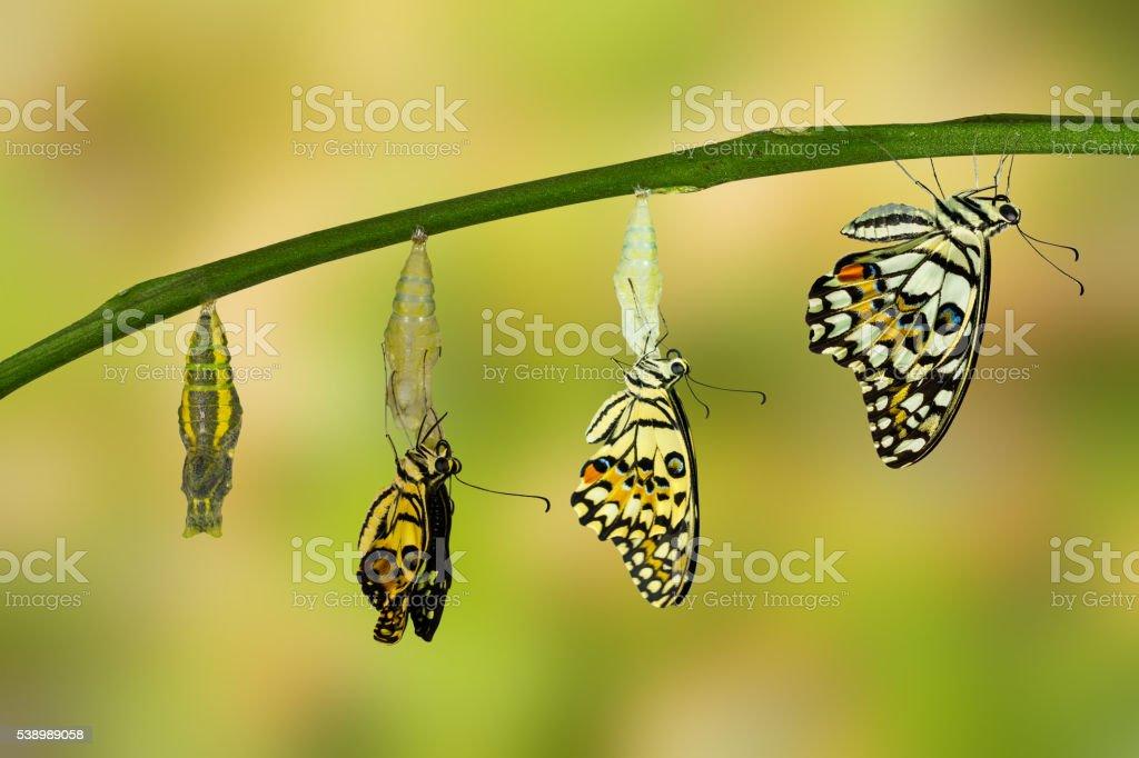 Neugestaltung des Lime Schmetterling Lizenzfreies stock-foto