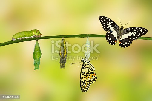 538988558istockphoto Transformation of Lime Butterfly 545645366