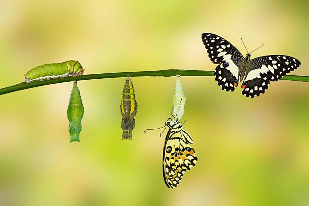 borboleta transformação de limão - lagarta - fotografias e filmes do acervo