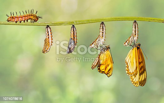 Transformation of yellow coster butterfly ( Acraea issoria ) from caterpillar and chrysalis hanging on twig , growth , metamorphosis , transformation