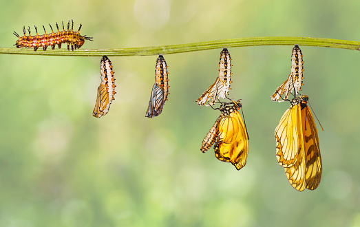 istock Transformation of yellow coster butterfly ( Acraea issoria ) from caterpillar and chrysalis hanging on twig 1074078616
