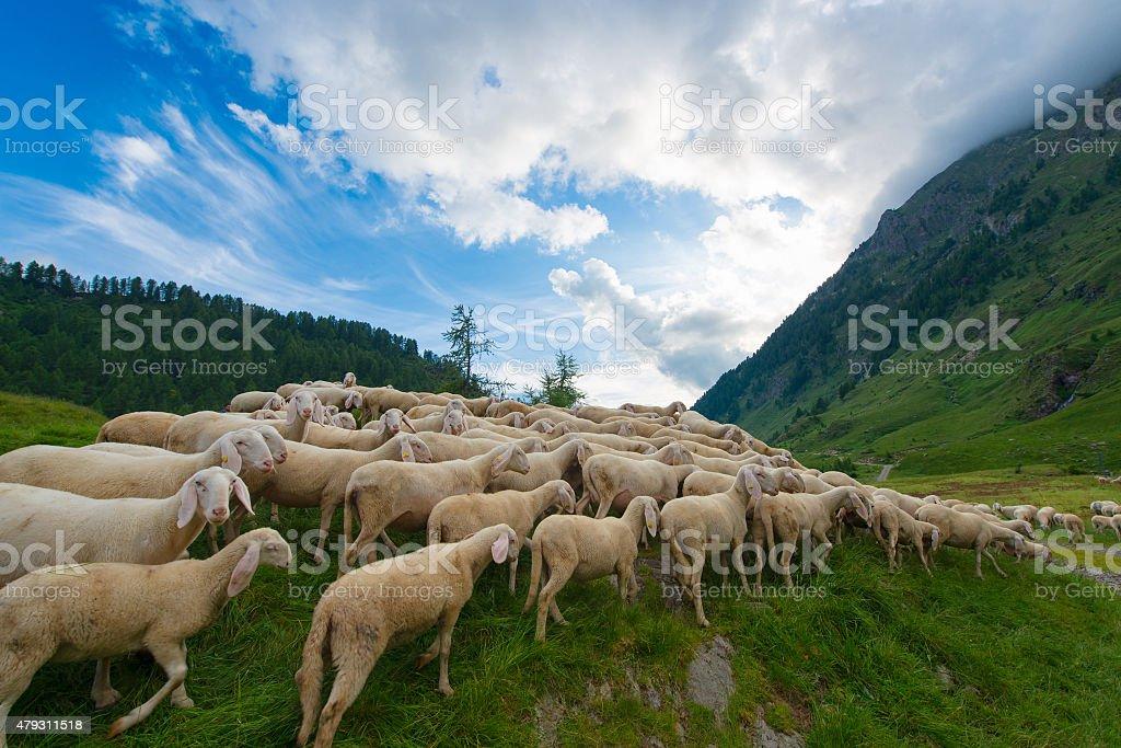 Transhumance von Schafen in den Bergen – Foto