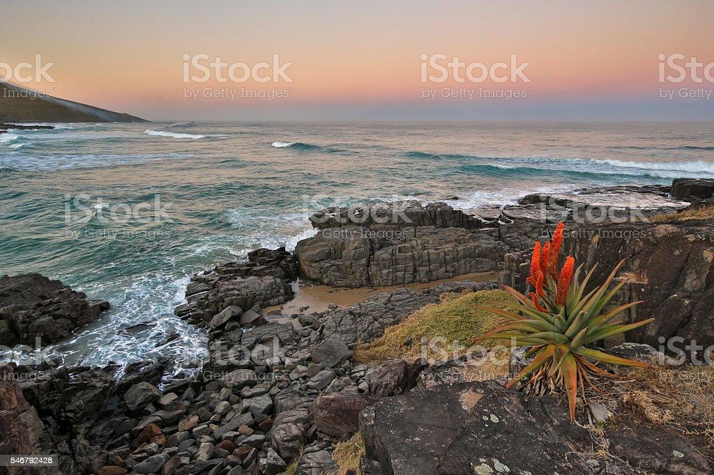 Transkei Aloe stock photo
