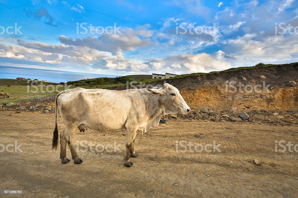Transkei Cow stock photo