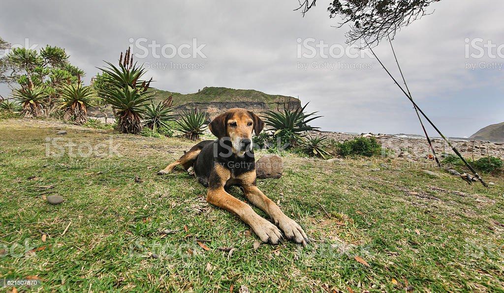 Transkei Hound foto stock royalty-free